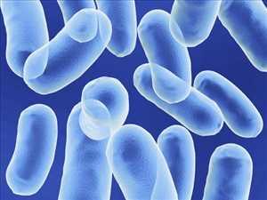 Global Bacillus Coagulans Market